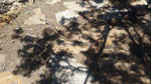 A local Sandia Mountains Bull snake